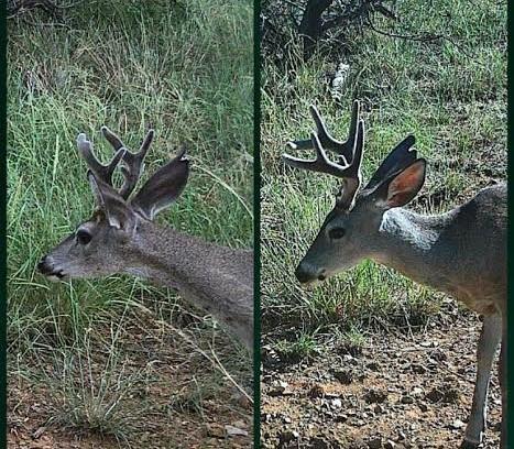 Best Natural Deer Attractant